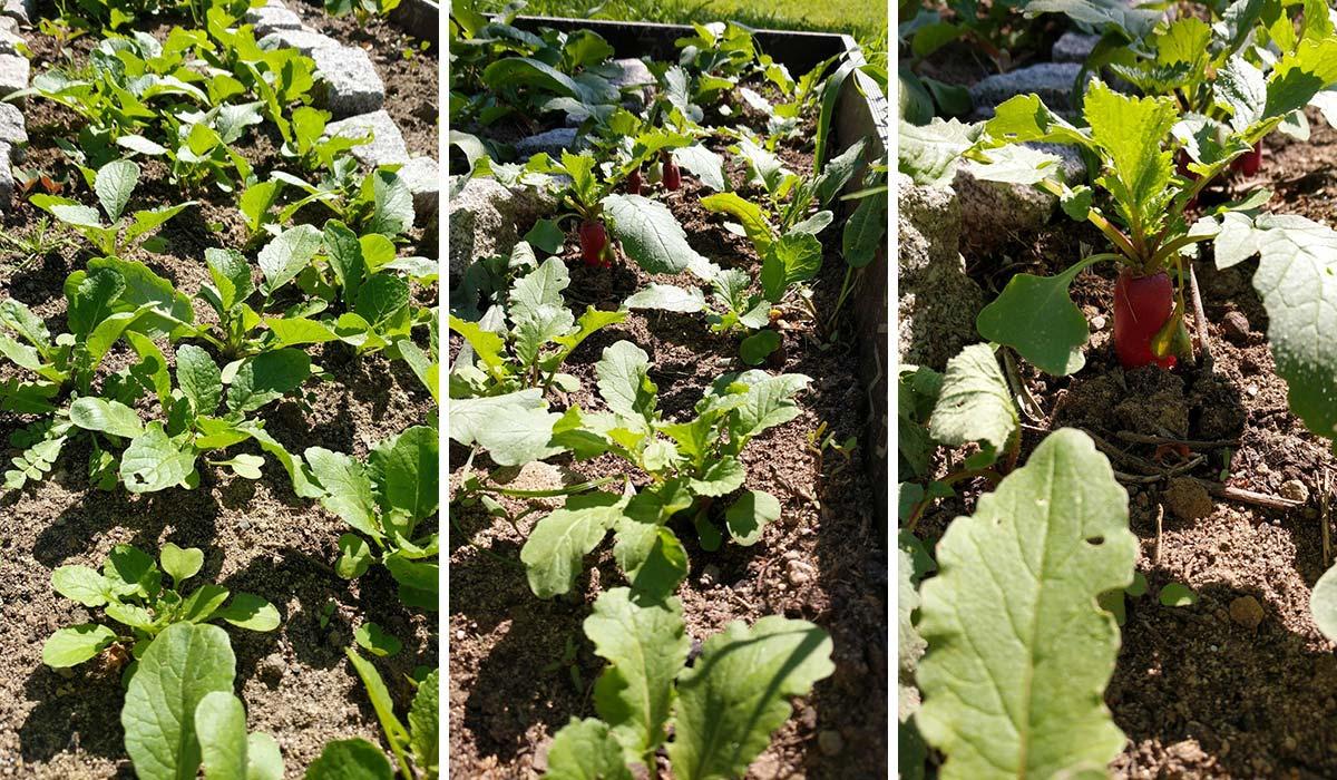 Salatalık yapraklarında beyaz lekeler: endişe için herhangi bir sebep var mı 58