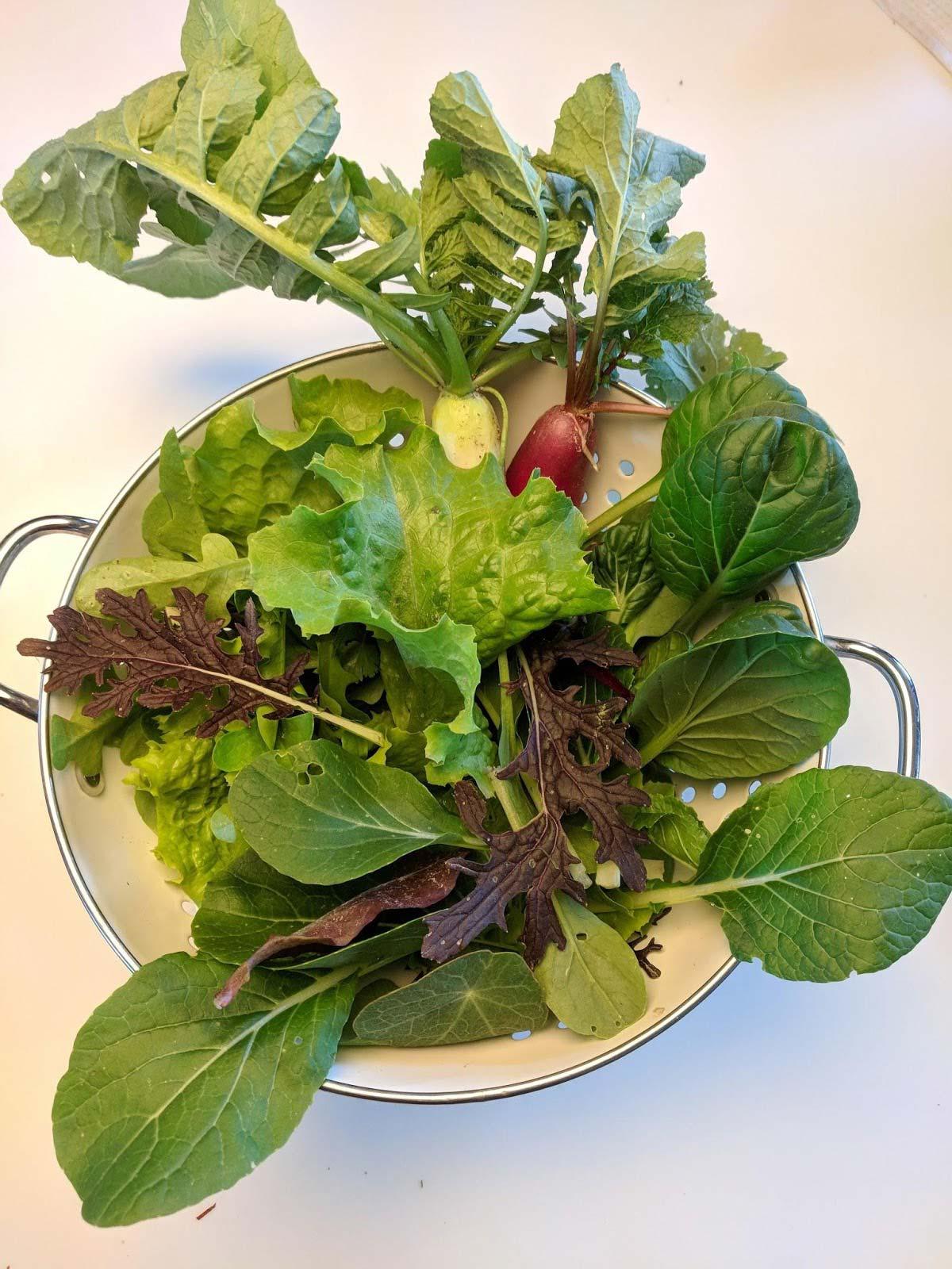 Salatalık yapraklarında beyaz lekeler: endişe için herhangi bir sebep var mı 33